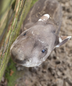 Lolita the baby Tapir at Cotswolds Wildlife Park